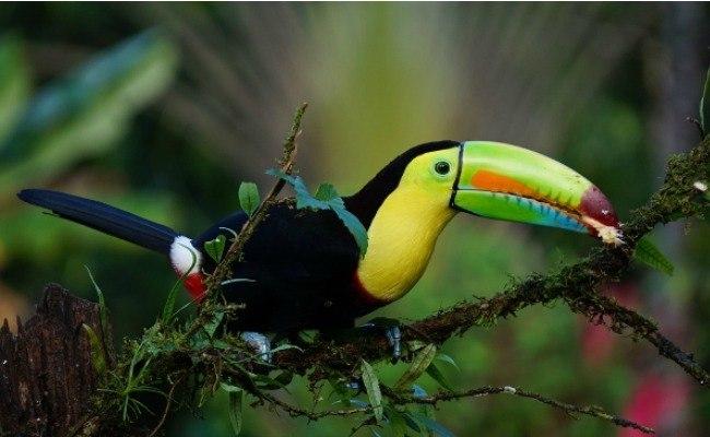 Un toucan coloré, perché sur une branche