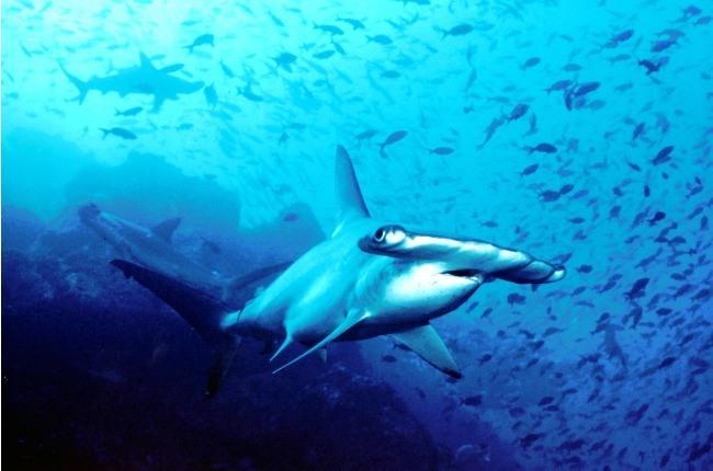 Un requin marteau en premier plan dans les eaux de l'île Cocos